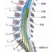 神経根の番号