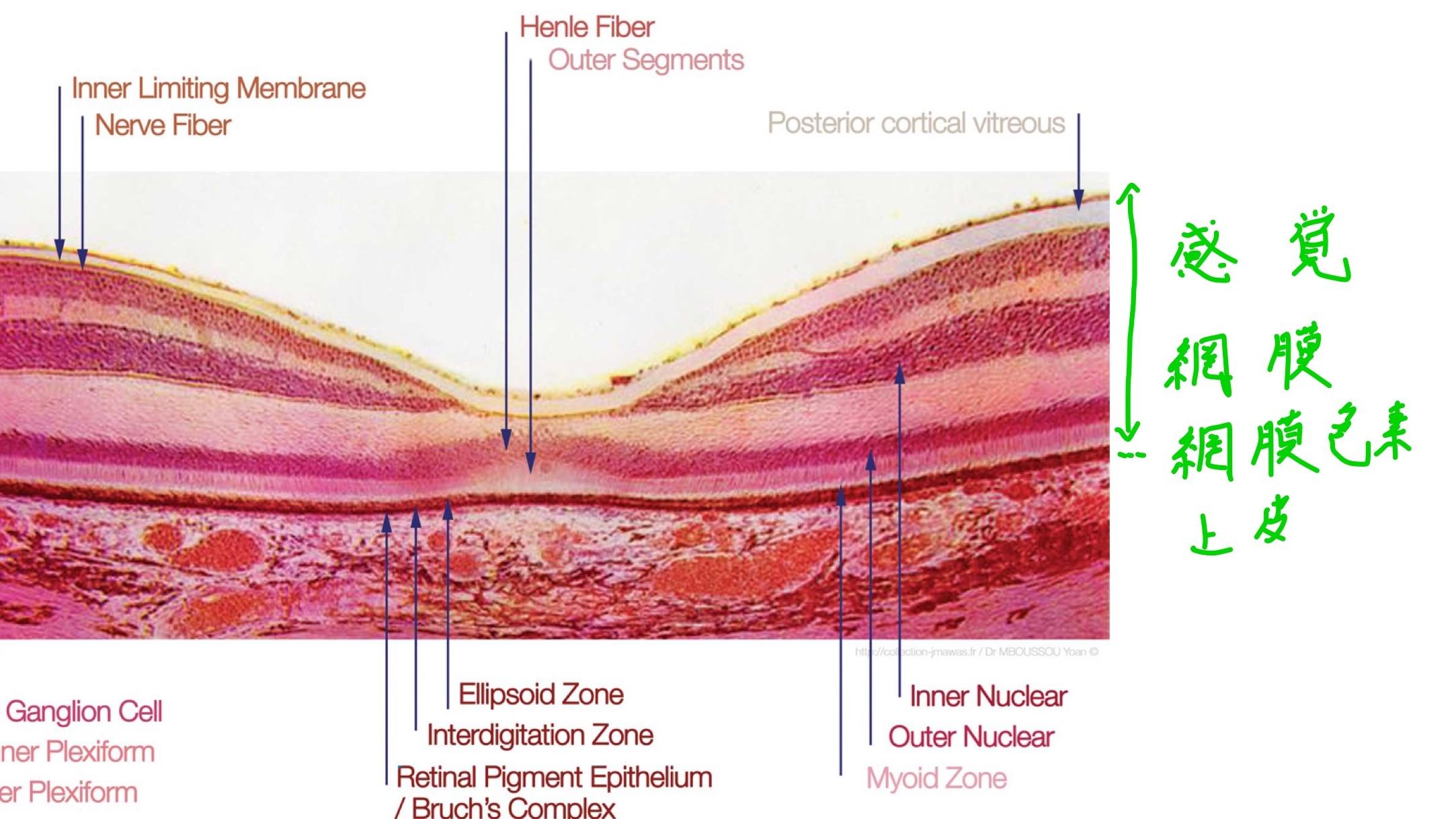 感覚網膜(神経網膜)と網膜色素上皮